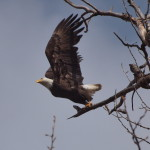 Bald Eagle takes Flight, Siderius Photo