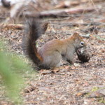 Red Squirrel with Food, Siderius Photo