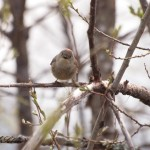 Ruby-crowned Kinglet Shows His Crown, Siderius Photo