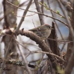 Ruby-crowned Kinglet, Siderius Photo