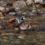 Harlequin Duck Male and Female, Siderius Photo
