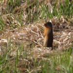 Columbia Ground Squirrel, Siderius Photo