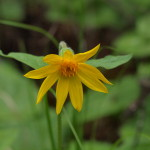 Heart-leaved Arnica, Siderius Photo