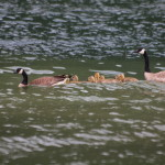 Canada Goose Family, Siderius Photo