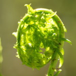 Fiddlehead, Siderius Photo