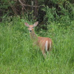 White-tailed Deer, Siderius Photo