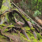 Forest Roots, Siderius Photo