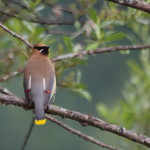 Cedar Waxwing, Siderius Photo