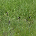 Hidden in the Grass- Canada Geese, Siderius Photo