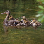 All Together - Mallard Family, Siderius Photo