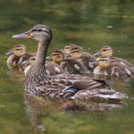 Mallard Family, Siderius Photo