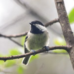 Black-capped Chickadee, Siderius Photo