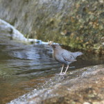 American Dipper Adult With Food, Siderius Photo