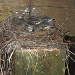 American Robins in the Nest, Siderius Photo