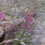 Fireweed, Siderius Photo