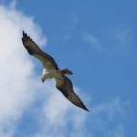 Soaring Osprey, Siderius Photo