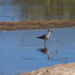 Lesser Yellowlegs, Siderius Photo
