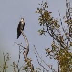 Osprey, Siderius Photo