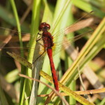 A Darner Dragonfly, Siderius Photo