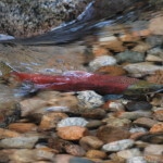 Kokanee Salmon - Coming Home, Siderius Photo