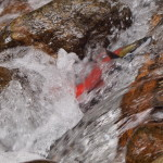 Kokanee Salmon - Challenging the Torrent, Siderius Photo
