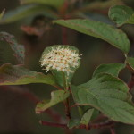 Red-Osier Dogwood Flowers, Siderius Photo