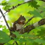 Red Squirrel, Siderius Photo