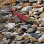 Kokanee Salmon-One Less Riffle to Go, Siderius Photo