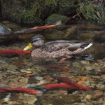 Mallard and Kokanee, Siderius Photo