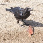 Raven on the Beach, Siderius Photo