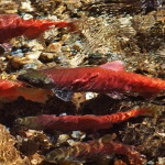 The Heart of Kokanee Creek - Kokanee Salmon, Siderius Photo