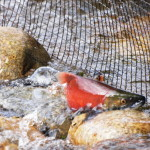 No Matter the Odds - Kokanee Salmon, Siderius Photo