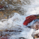 Challenging the Odds - Kokanee Salmon, Siderius Photo