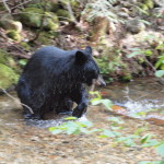 Black Bear - Going for Kokanee Salmon, Siderius Photo
