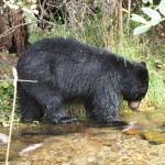 Black Bear Fishing, Siderius Photo