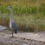 Great Blue Heron, Siderius Photo