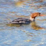 Common Merganser Female, Siderius Photo