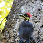 Pileated Woodpecker Fledgling, Siderius Photo