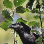 Young American Raven , Siderius Photo