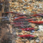 Just Resting - Kokanee Salmon, Siderius Photo