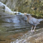 American Dipper with a Bill full of Food, Siderius Photo