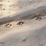 Coyote Tracks, Siderius Photo