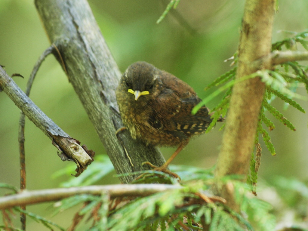 Fledgling Winter Wren