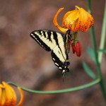 Western Swallowtail on Columbia Lily
