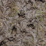 more raccoon tracks