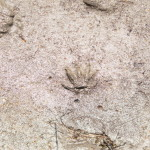 Columbia Ground Squirrel track