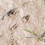more ground squirrel tracks?